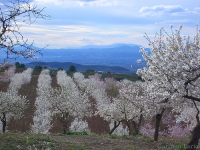 Almendros en flor (foto de Carmen Lario, cargada el 27 de febrero de 2006 en flickr.com).