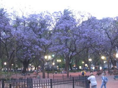 Floración azul de las jacarandás en Buenos Aires, 2005 (imagen procedente de iferreiro-bsas.buzznet.com)