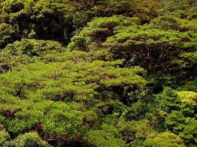 Copas de los árboles de Costa Rica: MonteVerde (foto de Abel, publicada el 30 de marzo de 2008 en picasaweb.google.com/abelpar)