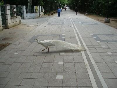 Un pavo real, de nombre desconocido, cruza el paseo central del Campo Grande de Valladolid (Foto: MS)