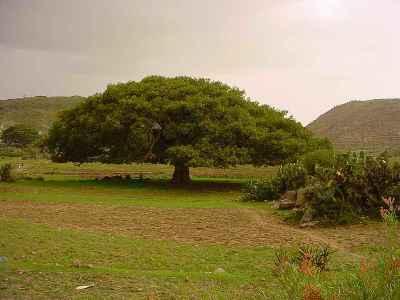 Un precioso sicómoro, quizá de Eritrea (imagen procedente de agenda.filastrocche.it)